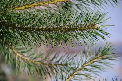pine, evergreen, tree, winter, conifer, nature, branch, spruce