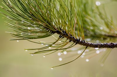 nature, pine, tree, conifer, plant, dew, macro, raindrop