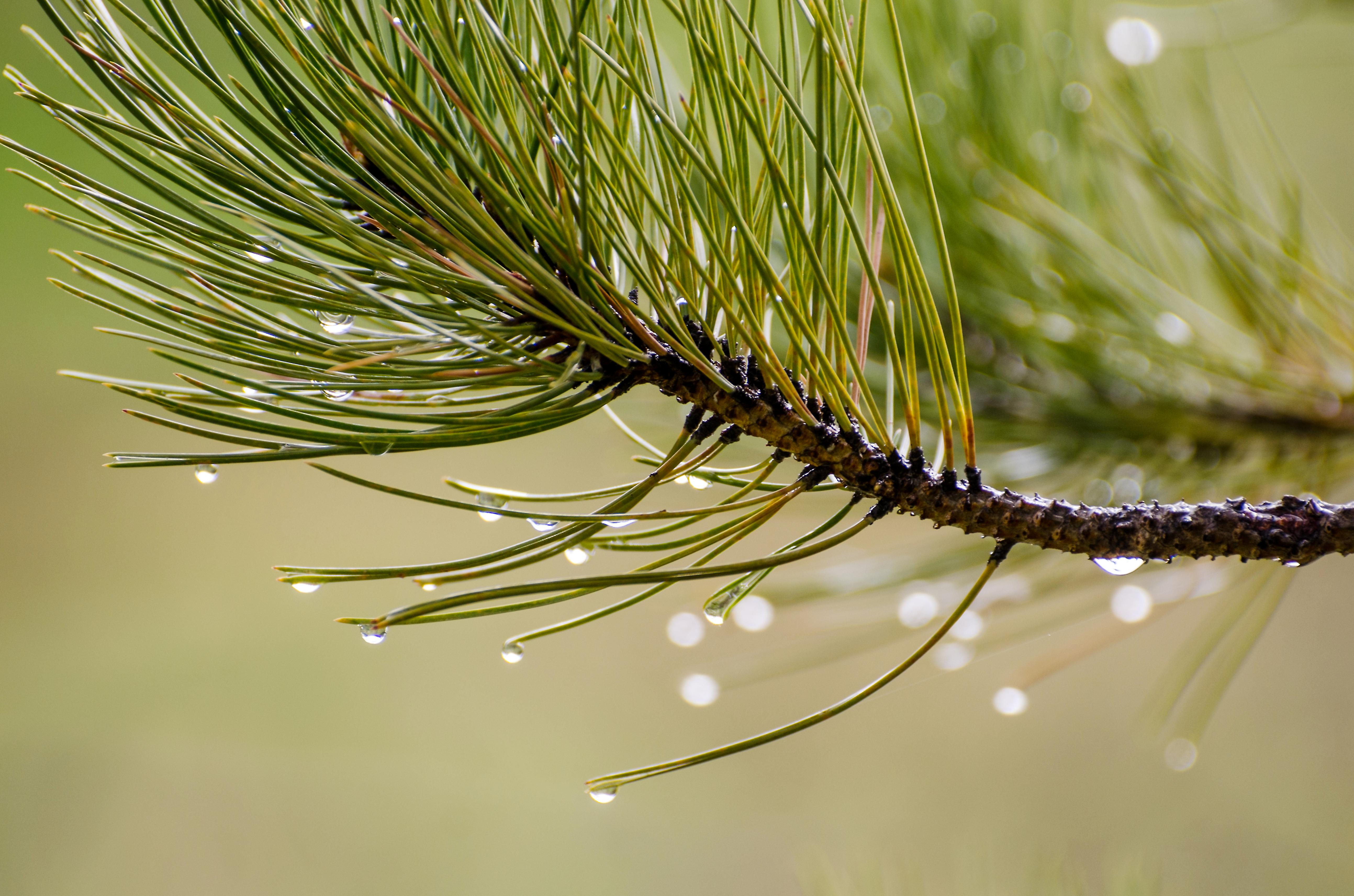 free picture  nature  pine  tree  conifer  plant  dew