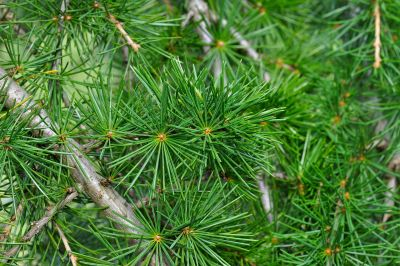 pine, evergreen, tree, conifer, branch, nature, spruce, wood, winter