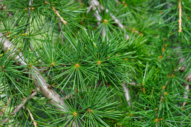 Imagen gratis pino rbol de hoja perenne rboles for Arboles de hoja perenne limpios