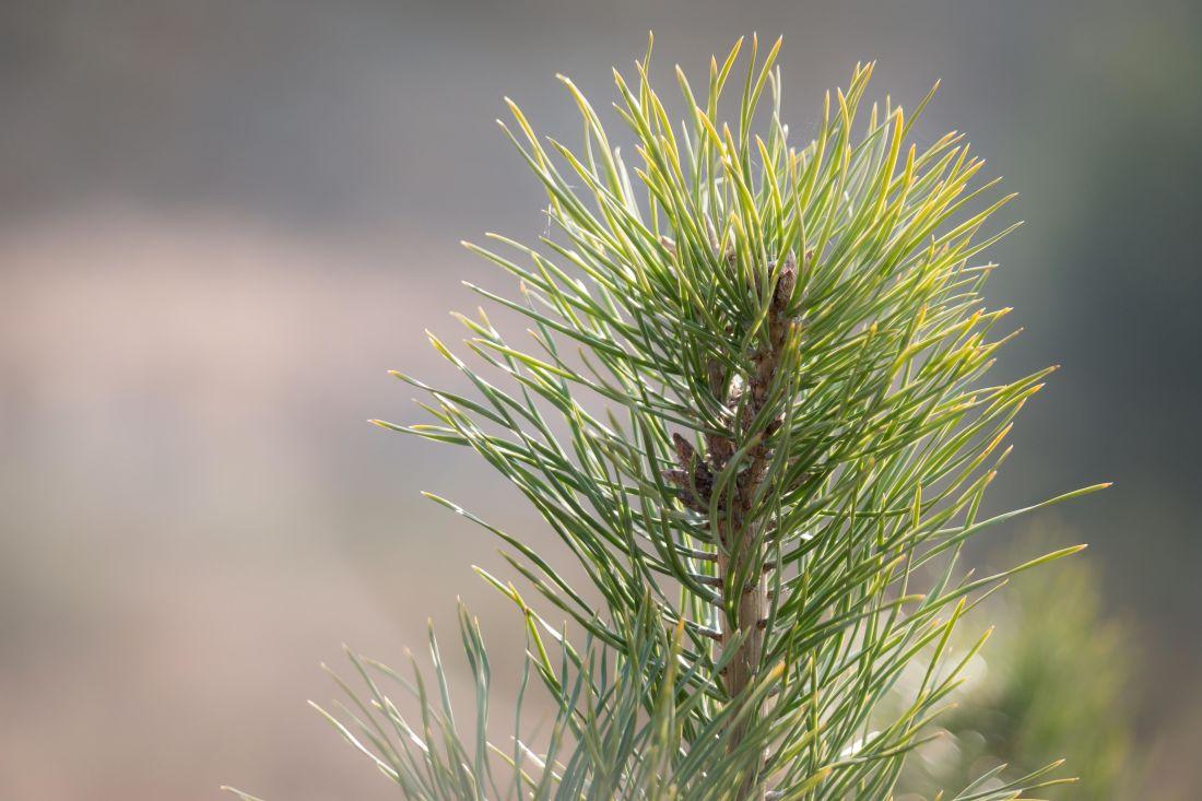 příroda, strom, listy, rostlina, borovice, pole