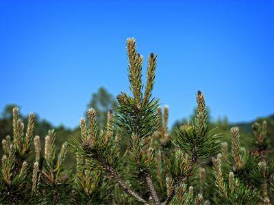 Natur, Winter, Baum, Nadelbaum, immergrün, Kiefer, Strauch, Pflanze