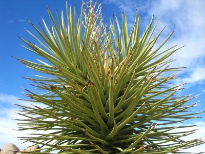 karakter, blade, træ, yucca, plante, busk, fyrretræ