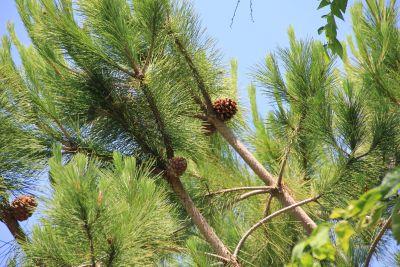Baum, Natur, immergrün, Kiefer, Nadelbaum, Pflanze, Wald
