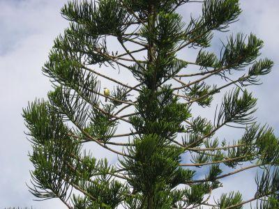 Baum, Kiefer, Natur, immergrün, Nadelbaum, Zweig, Pflanze, Himmel, Wald