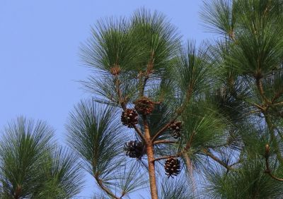 tree, nature, evergreen, conifer, pine, summer, palm, plant, sky