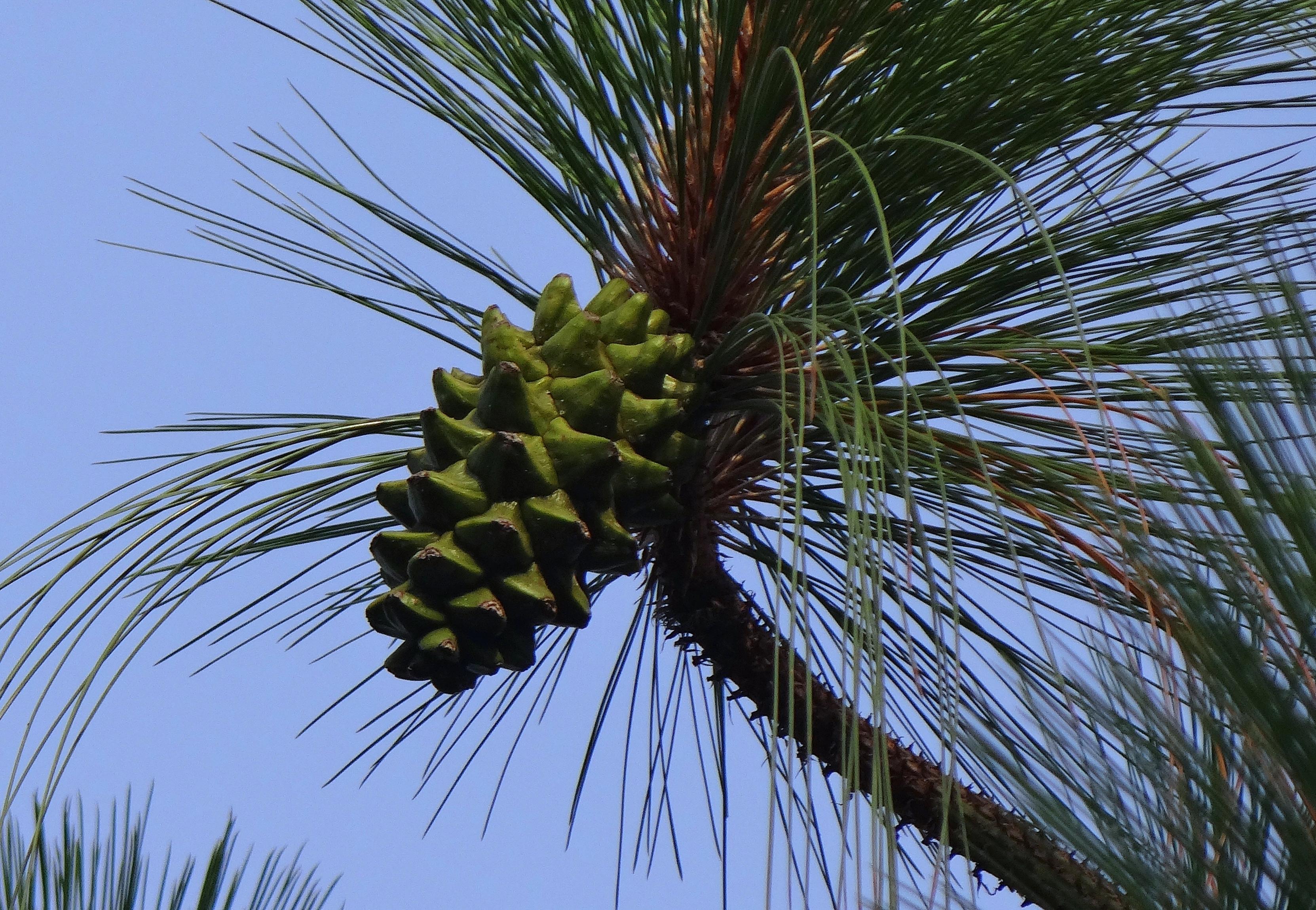 Foto gratis albero natura sempreverde pino noce di for Pianta di cocco