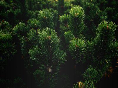 เอเวอร์กรีน ธรรมชาติ ไม้สน ต้นไม้ พืช เงา มืด