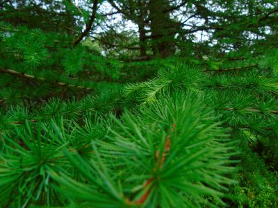 conifer, pine, evergreen, tree, wood, nature, leaf, branch, spruce