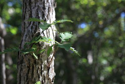 tree, wood, nature, leaf, environment, bark, flora, plant