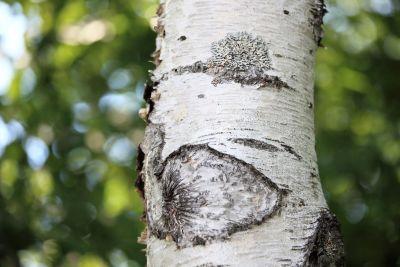 arbre, écorce, bois, nature, feuilles, bouleau, plante