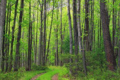 madera, naturaleza, paisaje, hoja, árbol, abedul, bosque, planta
