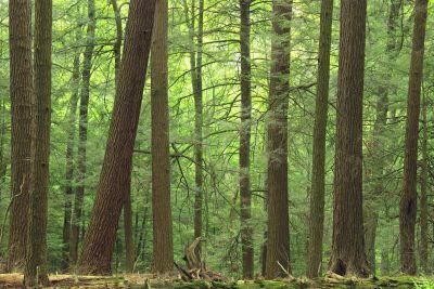 madera, árbol, naturaleza, paisaje, coníferas, hojas, bosque
