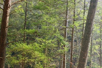 madera, árbol, naturaleza, paisaje, hoja, coníferas, forestales, abedul