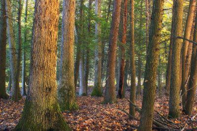madera, árbol, hoja, naturaleza, paisaje, coníferas, medio ambiente