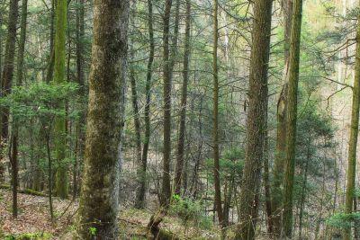 Holz, Natur, Baum, Blatt, Landschaft, Nebel, Birke, Wald, Pappel
