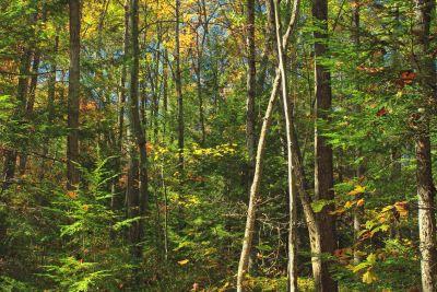 madera, hoja, naturaleza, árbol, paisaje, abedul, bosque, álamo