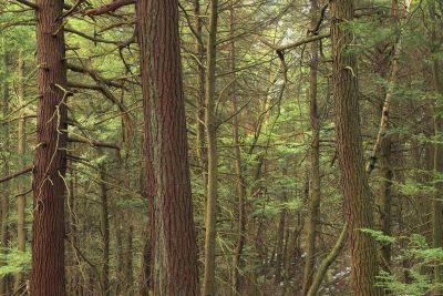 madera, árbol, naturaleza, hoja, coníferas, paisaje, bosque