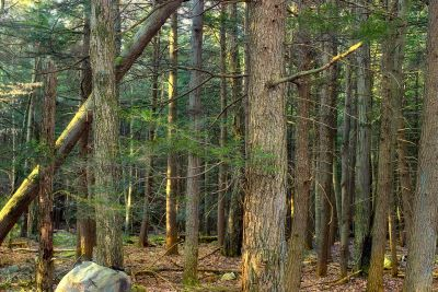 дървен материал, дърво, природа, пейзаж, околната среда, листа, иглолистни