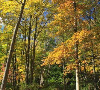 hoja, madera, árbol, naturaleza, paisaje, álamo, abedul, otoño