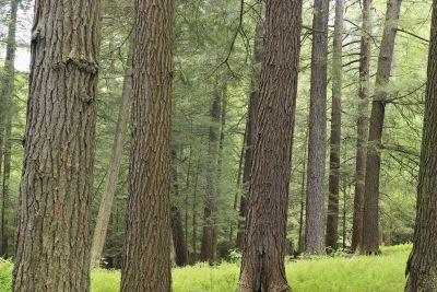 wood, tree, nature, conifer, landscape, leaf, poplar, forest