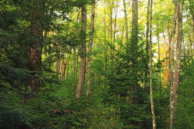 wood, landscape, tree, nature, leaf, birch, forest, poplar