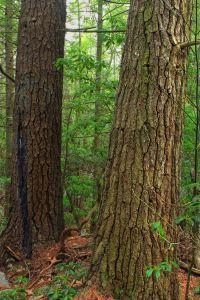 дърво, дърво, природа, пейзаж, околната среда, листа, горски