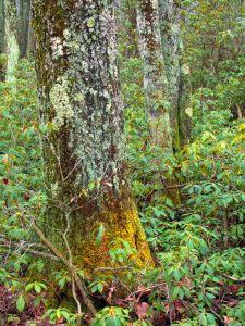 wood, tree, nature, leaf, flora, landscape, birch, forest