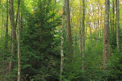 Holz, Natur, Blatt, Baum, Landschaft, Birke, Wald, Pflanze
