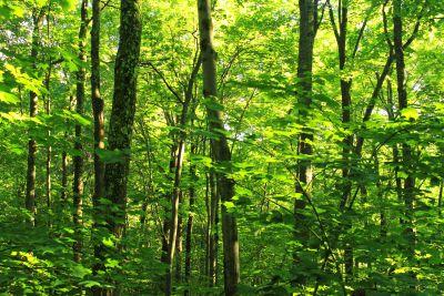 trä, löv, natur, landskap, träd, dawn, miljö