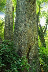 tre, tre, natur, blad, bark, skogen, plante, landskap