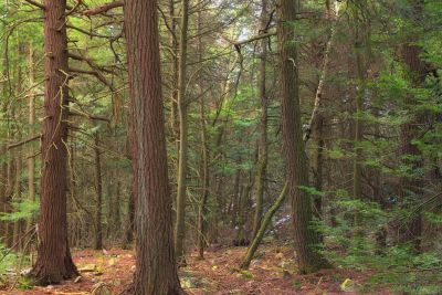 wood, tree, nature, leaf, landscape, conifer, forest, birch