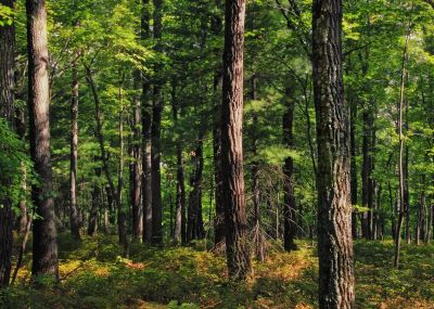 wood, nature, tree, landscape, leaf, forest, birch, plant
