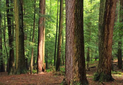 wood, tree, conifer, landscape, nature, evergreen, forest