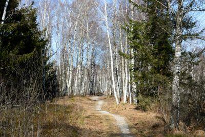 Holz, Natur, Landschaft, Baum, Birke, Wald, Pappel, Pflanze
