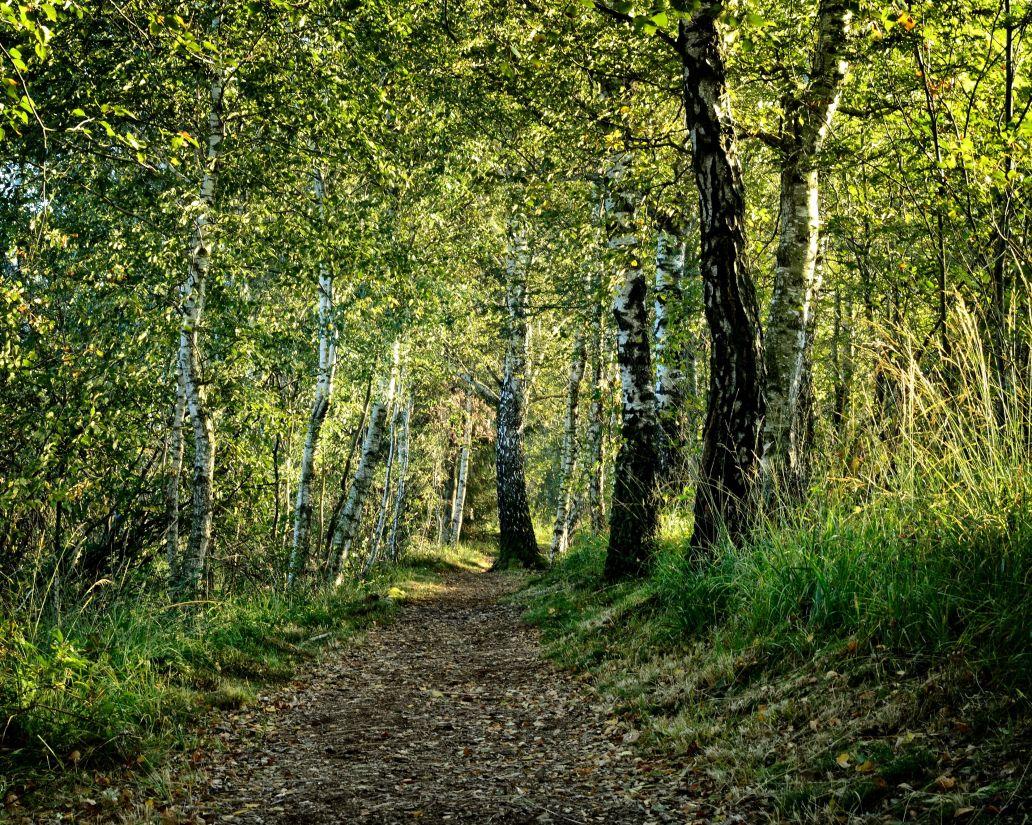wood, landscape, nature, leaf, tree, rural, birch, forest