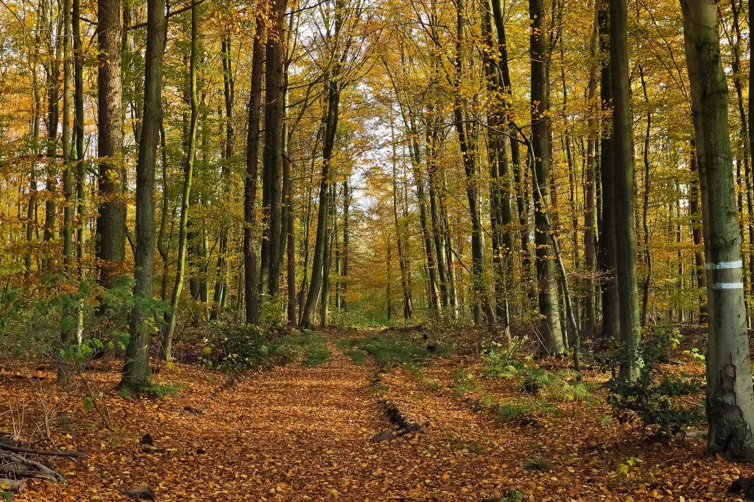 나무, 잎, 나무, 풍경, 자연, 환경, 너도 밤나무, 새벽