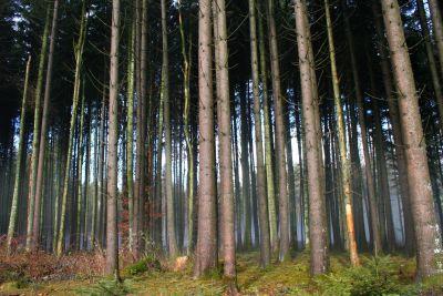 dřevo, strom, příroda, list, krajina, životní prostředí, bříza, lesní