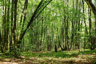 legno, natura, foglia, albero, paesaggio, ambiente, alba, betulla