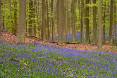 ξύλο, φύση, τοπίο, λουλούδι, φύλλο, κουβέρτα, δέντρο, χλωρίδα, bluebonnet