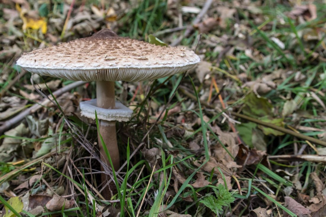 gljiva, gljiva, prirode, šuma, divljine, trava, flore, organizam