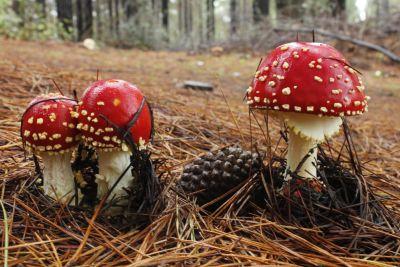 fungo, fungo, natura, legno, veleno, organismo