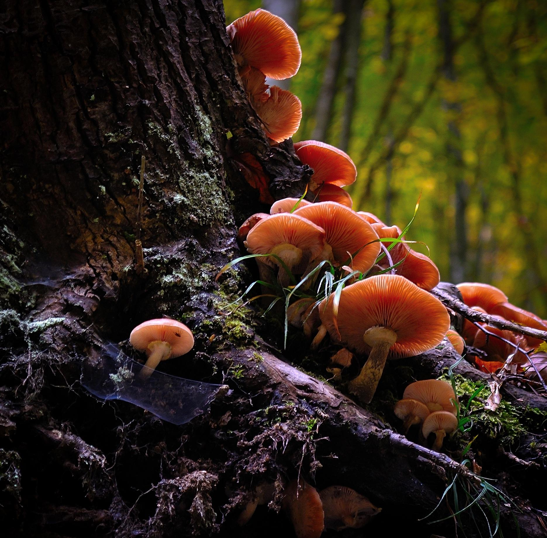 free picture fungus mushroom moss nature wood poison