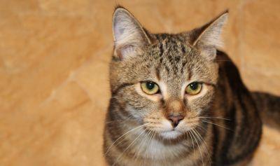 cute, cat, fur, animal, eye, feline, pet, kitten, kitty, whiskers
