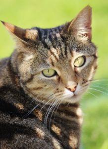 søt, katten, pels, pet, dyr, øye, unge, portrett, feline