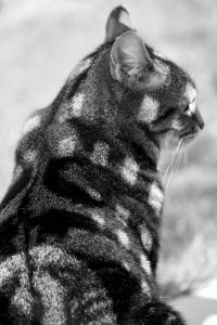 cat, nature, portrait, monochrome, domestic cat, wildcat, animal, pet