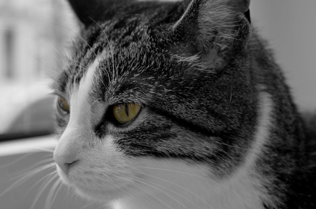 kostenlose bild katze portrait tier haustier auge niedlich k tzchen fell kitty. Black Bedroom Furniture Sets. Home Design Ideas