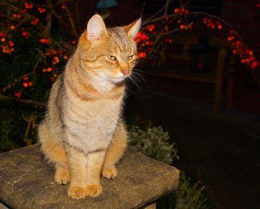 macska, portré, állat, aranyos, kisállat, szőrme, szem, macska, cica