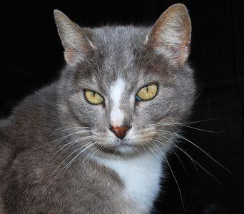 Cat, roztomilý, oko, pet, portrét, zvíře, kotě, kožešiny, šedá